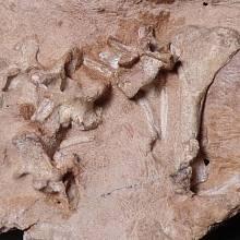 Nalezené fosilní pozůstatky Antarctanaxe shackletoni.