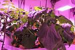 Zeleninu pěstovali ve speciálně upravených sklenících