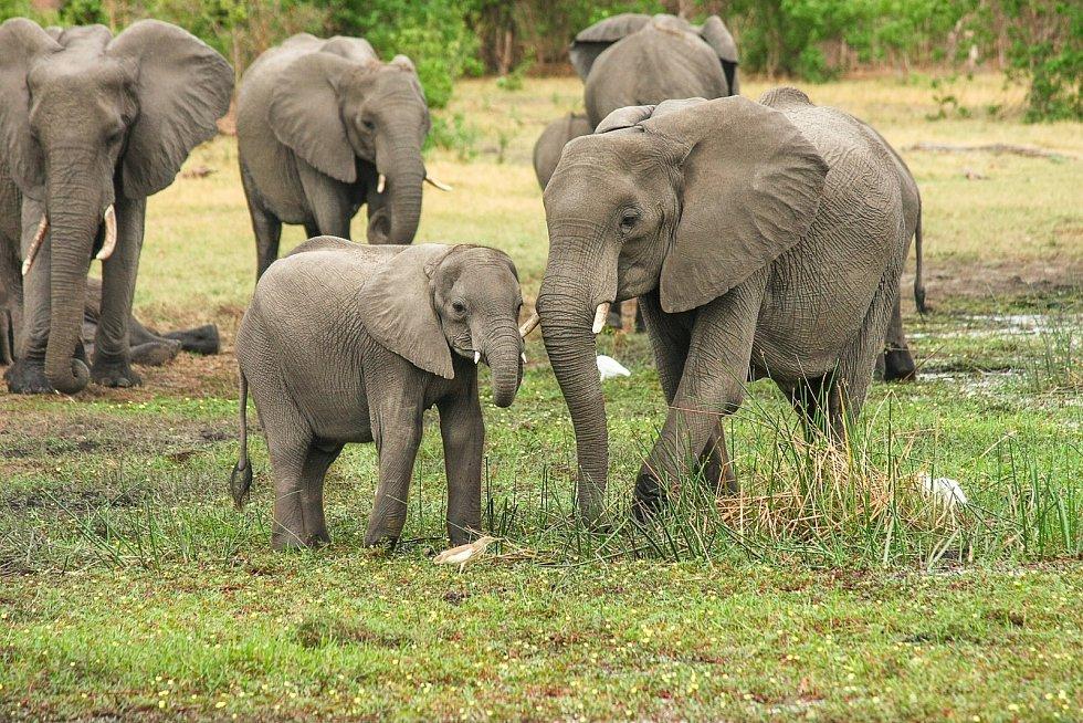 Slon africký (Loxodonta africana)