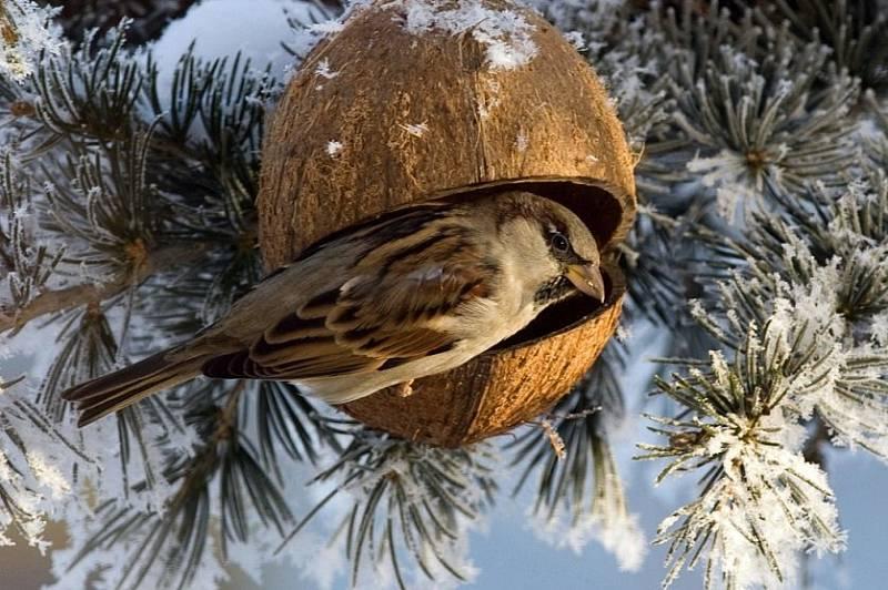 Lidé v zimních měsících rádi pozorují ptáky na krmítku. Krmítko lze vyrobit i z kokosového ořechu.