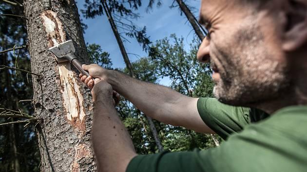 Sucho a kůrovec. Tato dvojice nyní ohrožuje české lesy. Oslabené dřeviny jsou náchylnější vůči cizopasným houbám i škůdcům. Teplotní extrémy oslabují lesní porost. Nejvíce je tímto vývojem ohrožen právě smrk a jeho hlavním škůdcem je právě kůrovec. V okol