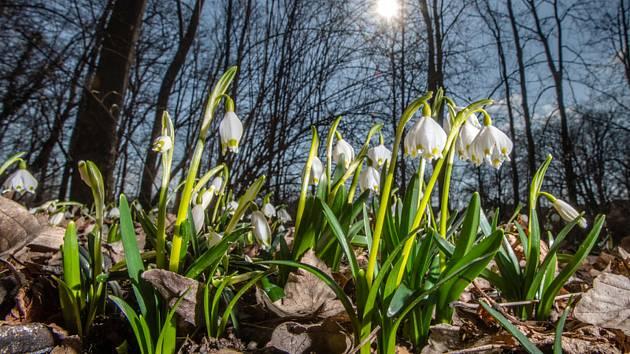 Kvetoucí bledule jarní - ilustrační foto.