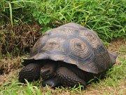Američtí vědci objevili na Galapágách nový druh obří želvy. Jeho existenci tušili již delší dobu vzhledem k tomu, že krunýř těchto želv nemá tak kupolovitý tvar jako ostatní.