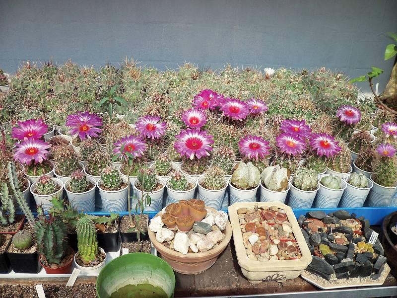 Kaktusy jsou rostliny, které dobře snášejí tvrdší zacházení nebo sucho, vadí jim však nedostatek světla apřelití.
