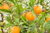 Pěstování citrusů. Ilustrační foto