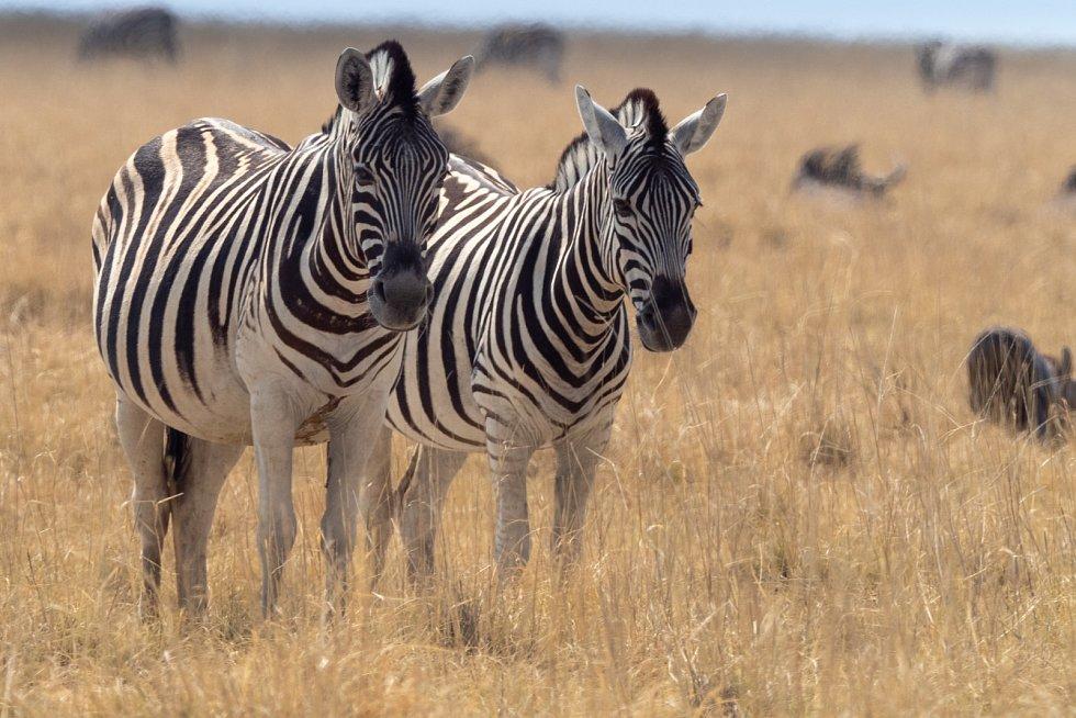 Zebry mají pruhy. Díky těm jsou v horkém pohybujícím se vzduchu vdálce rozmazané. Predátoři je hůř rozpoznají. Pruhy prý také predátorům údajně zhoršují rozpoznat jednotlivé kusy ve stádě.