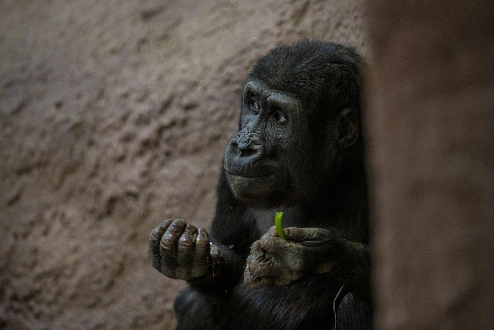 Malá gorila si v tichu pavilonu pochutnává na zelenině. Už 41 dní roku 2021 si za sklem nemohla prohlédnout žádnou návštěvu jejího pavilonu.