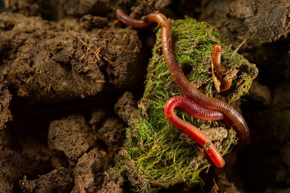 Žížaly pomáhají zbavovat se ekologicky domácího odpadu.