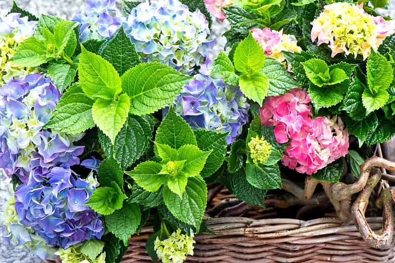 Obliba hortenzie roste, zdobí stále více zahrad i teras, v minulosti přitom byla vnímána jako hřbitovní rostlina. Naštěstí se ale její postavení mění.