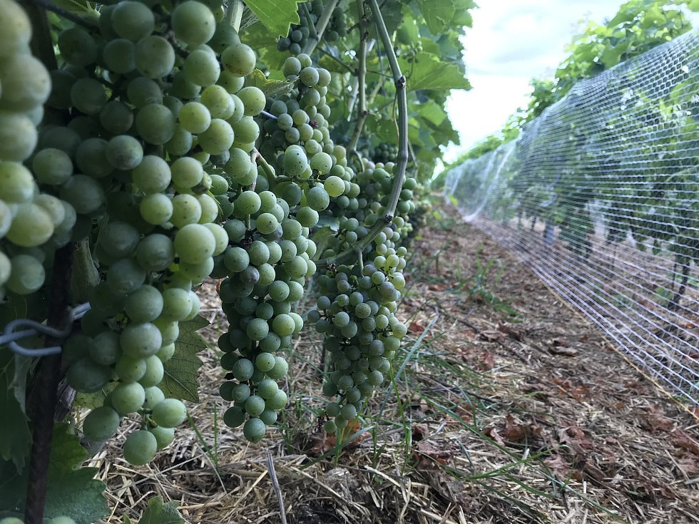 Plody vinohradu v Odrlicích. 26. srpna 2020