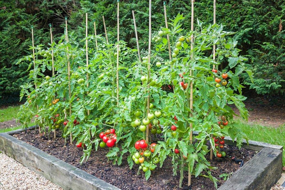 Výsledkem vaší jarní práce na záhonku budou třeba takováto parádní rajčata.