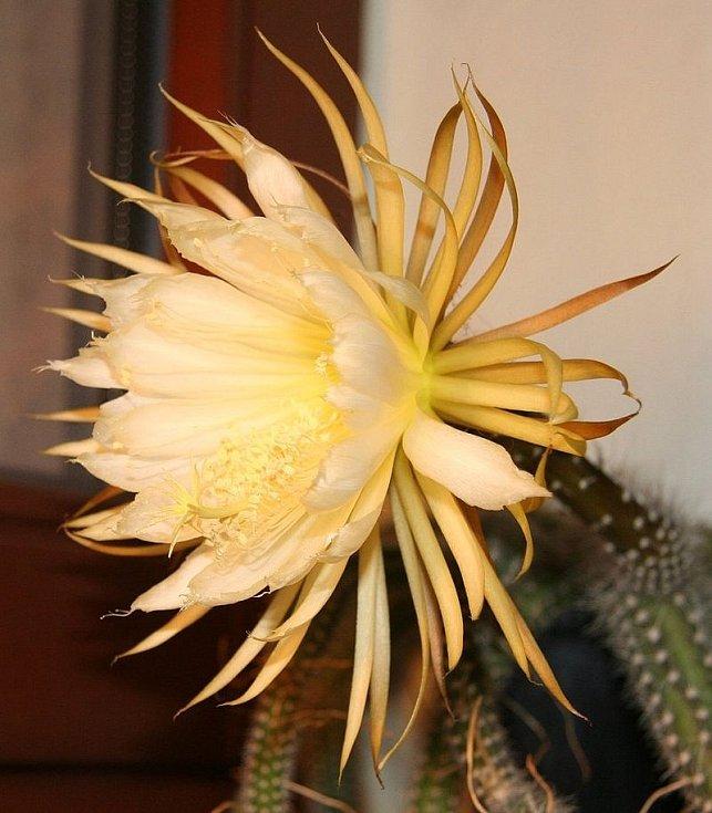 Kaktus Selenicereus validus, atraktivní kaktus s dlouhými, provazovitě vypadajícími stonky, které se větví na základně