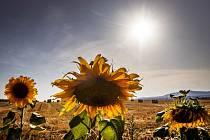 Žhnoucí letní slunce nad slunečnicovým polem - ilustrační foto