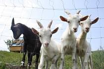 Co by to bylo za Kozojídky, kdyby chyběly skutečné kozy.