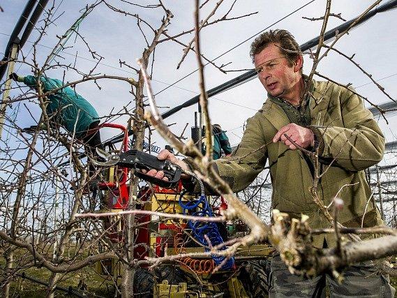 V sadech Zemědělského družstva Dolany na Náchodsku prováděli 9. března zimní řez ovocných stromů.