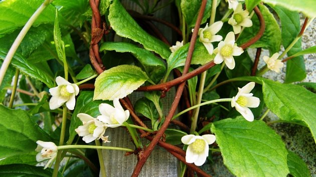 Květy a listy pnoucí rostliny schisandra