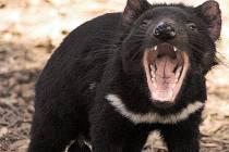 Tasmánský čert ukazuje zuby. Může jimi přenášet rakovinu.