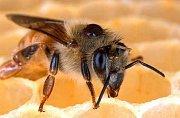 Varoáza  u včel