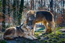 Vlci.