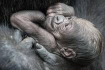 Novorozené mládě gorily nížinné západního poddruhu se tak stalo dalším pravnoučetem samice Colo, která je považovaná za nejstaršího jedince svého druhu na světě. Ilustrační foto.