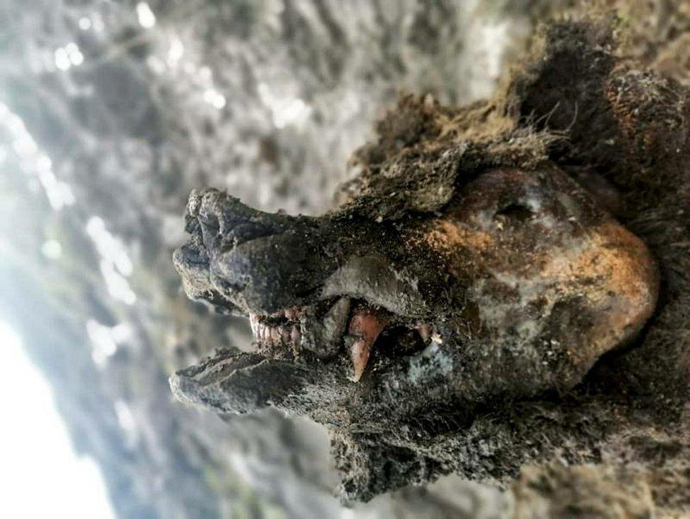 Zachovaná mumie medvěda jeskynního z doby ledové, nalezená na Sibiři.