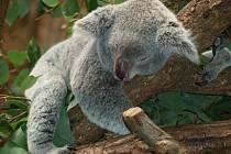 Koala spí denně déle než lidský novorozenec