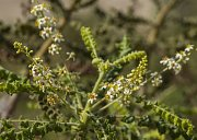 Med pochází z drobných květů pouštního kadidlovníku