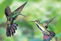 SYMBOL PESTROSTI. Kolibřík černohrdlý (Anthracothorax nigrocollis) a s ním tisíce dalších druhů živočichů a rostlin by mohli padnout za oběť změnám klimatu.