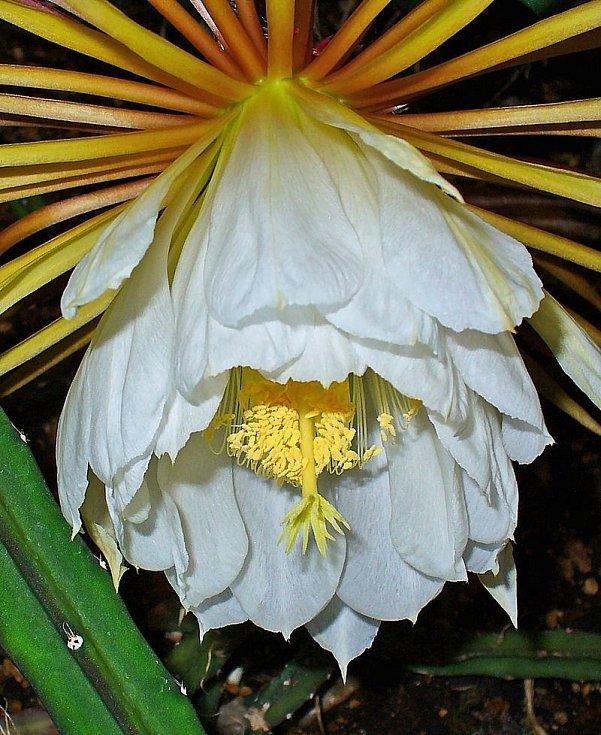 """Kaktus Selenicereus pteranthus, přezdívaný """"princezna noci"""". Jeho květy se někdy používají v homeopatii jako lék"""