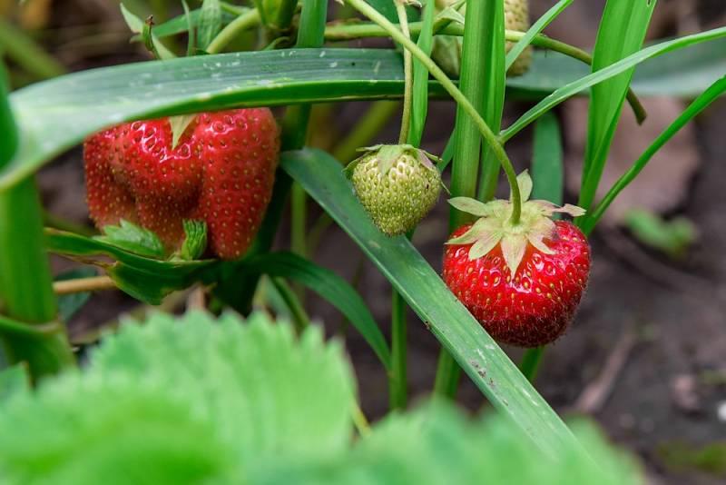 V půlce července končí sklizeň jahod. Abyste i napřesrok měli bohatou úrodu, musíte se postarat o jahodníky. Čeká vás proto odstranění šlahounů a plevele, možná zrušení starého záhonu a zakládání nového porostu.