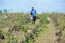 Bouří poničená vinice v Mikulčicích