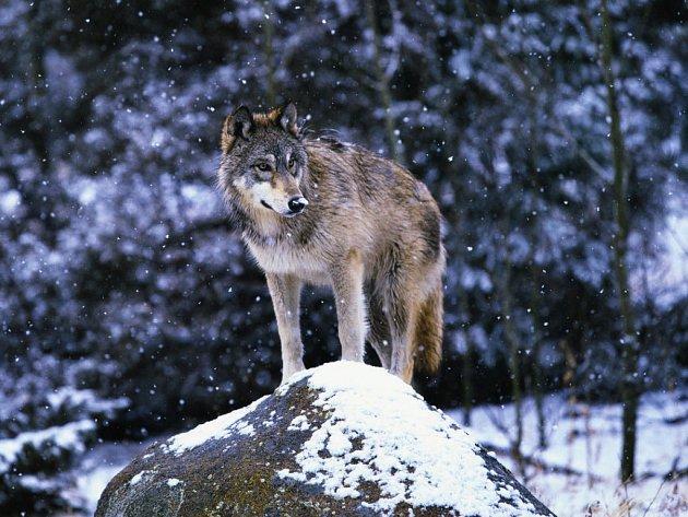 Vlk obecný zmizel ze seznamu ohrožených druhů.
