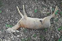 Srnčí po útoku psů. Psi v jednotlivcích srnu uženou, pak pojde na zápal plic. Ve více kusech ji jako ve smečce nahání a pak ji roztrhají.