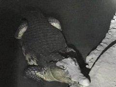 Krokodýl, kterého našla ruská policie při razii v domě v Petrohradu