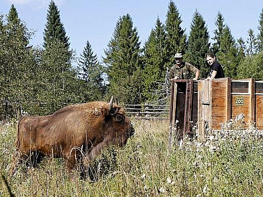 Dvouletá mláďata zubra evropského Princezna a Prokop pocházející z pražské zoo našla nový domov v národním parku Bieszczady na jihovýchodě Polska.