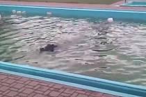 Divoký kanec v bazénu Vojenské lázeňské léčebny.