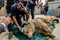 Zachráněná medvědice a lev ze zoo v Mosulu.