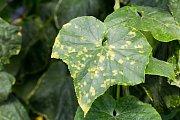 Plíseň okurková začíná žlutými skvrnami na listech.