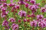 Mateřídouška je charakteristická růžovými nebo purpurovými květy, které silně voní.