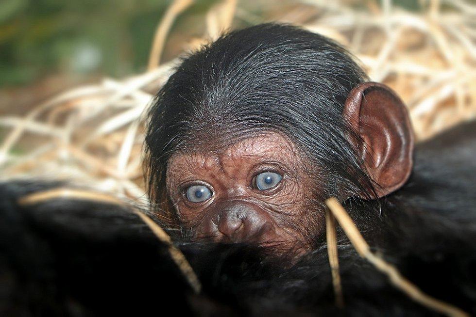 Šimpanz, ZOO Plzeň