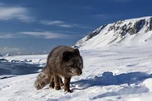 Polární liška předvedla ještě zdatnější chodecký výkon než legendární kolie Lassie