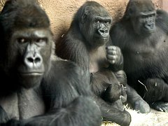 Gorily v pražské zoologické zahradě.