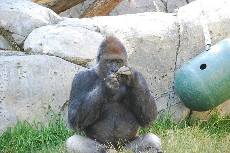 Nejméně dvě gorily v zoo v San Diegu byly infikovány, ilustrační foto