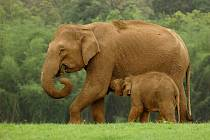 Slon indický - ilustrační foto