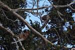 Kahau nosatí se ve stromech ukládají ke spánku. Samci mají charakteristické velké nosy.