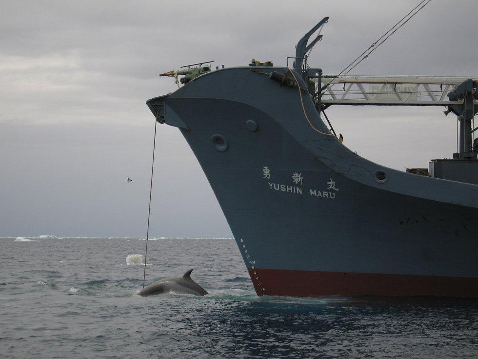 Japonská velrybářská loď Yushin Maru s uloveným plejtvákem jižním.