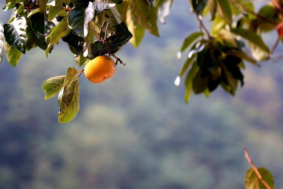 Kaki bývalo dříve spíše exotickým ovocem…