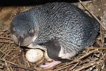 Tučňák nejmenší