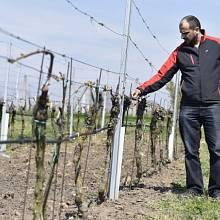 Mráz ničil úrodu vína