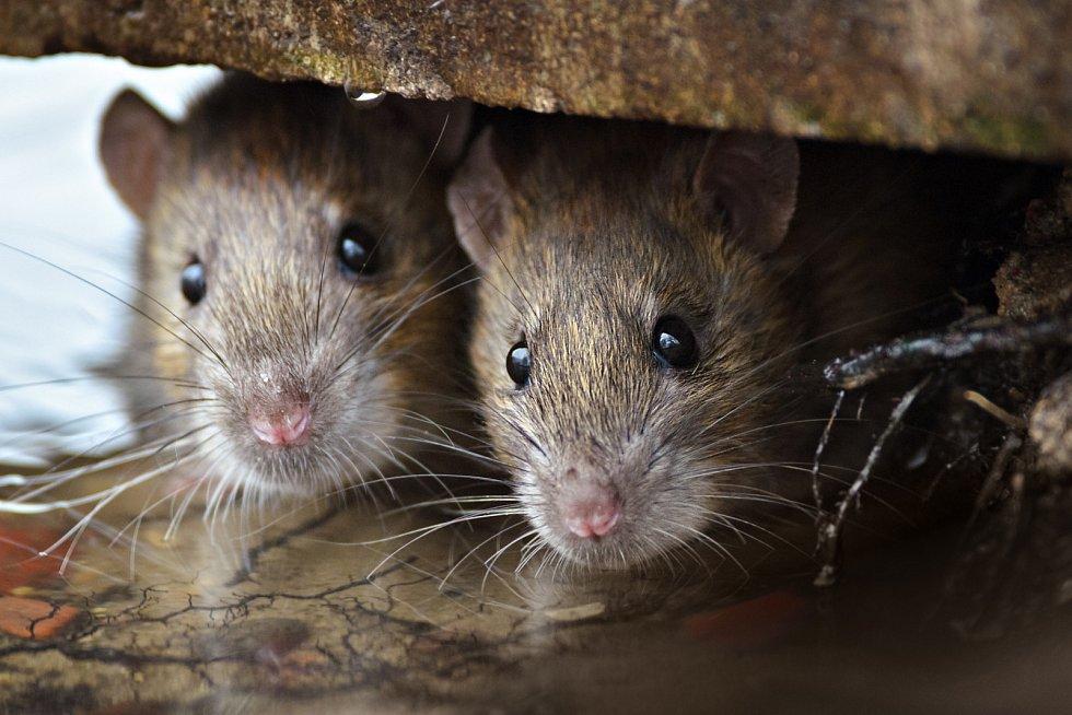 Myši a krysy jsou postrachem restaurací a obchodů s potravinami.
